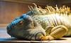 Spaghetti - the Iguana (Clever Poet) Tags: spaghetti sketti iguana big guy family pet moving brownsville texas 4 feet long razor sharp nails scales sheds skin