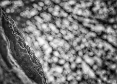 Pennies from Heaven (Mister Blur) Tags: ruinas aké sitio arqueológico ruins shallow depthoffield dof tree bokeh leaves blur distancia focal árbol hojas desenfoque rains pennies heaven blackandwhite bw blancoynegro snapseed nikon d7100 35mm hmbt happymonochromebokehthursday