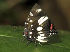 Panthiades boreas (hippobosca) Tags: panthiadesboreas butterfly lepidoptera insect lycaenidae hairstreak macro peru
