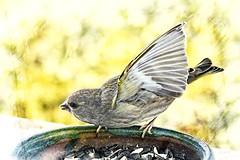 Ti' Zozio_2 (*Jost49*) Tags: oiseau bird mangeoire birdtable graine seed grainesdetournesol sunflowerseeds texture canoneos6dmkii canonef24105lis