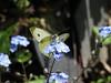 CKuchem-5883 (christine_kuchem) Tags: blüte blüten falter frühjahr frühling garten insekt insekten kohlweisling nahrung natur naturgarten nektar pflanze privatgarten schmetterling selbstaussaat sommer tagfalter tier vergissmeinnicht wildpflanze naturnah natürlich wild
