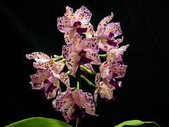 Cattleya Amethystoglossa (San Francisco Gal) Tags: cattleyaamethystoglossa orchid species brazil flower fleur bloom blossom pacificorchidexposition poe 2018 ngc npc coth coth5