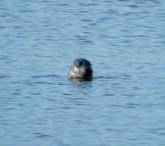 Seal off the Promenade (Beth M527) Tags: seals animals 2018 thesea firthofclyde largs scotland northayrshire