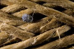 Roll of string (Altazur) Tags: macro closeup string roll poppyseed 7dwf cordon semilla semilladeamapola