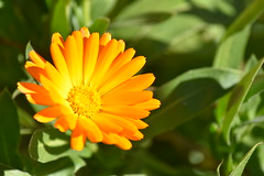 Calendula officinalis (esta_ahi) Tags: calendula officinalis calendulaofficinalis asteraceae compositae flor flora flores cultivadas bellprat anoia barcelona spain españa испания