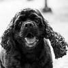 Hersey_Bear24Feb2018182-Edit-Edit.jpg (fredstrobel) Tags: dogs pawsatanta phototype atlanta blackandwhite usa animals ga pets places pawsdogs decatur georgia unitedstates us