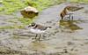 Ringed plover / Sandlóa (Charadrius hiaticula) and Dulin / Lóuþræll (Calidris alpina) (thorrisig) Tags: 30082017 bakkatjörn calidrisalpina charadriushiaticula dulin dýr fuglar ringedplover sandlóa vaðfugl lóuþræll birds bird dorres animals sigurgeirsson sigurgeirssonþorfinnur iceland ísland island icelandicbirds íslenskirfuglar thorrisig thorfinnursigurgeirsson thorri þorrisig thorfinnur þorfinnur þorri þorfinnursigurgeirsson waterbird wadingbird