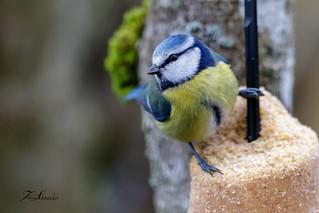 Mésange bleue au nourrissage