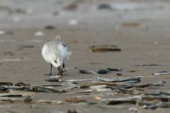 Sanderling-3477 (WendyCoops224) Tags: 100400mml 80d norfolk rspbtitchwell canon coast eos ©wendycooper sanderling