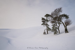 Standing In Snow (.Brian Kerr Photography.) Tags: scotland scottishlandscapes scottish scotspirit scottishborders scottishlandscape scotspines sony a7rii formatthitech outdoor outdoorphotography opoty photography landscape landscapephotography onlandscape tree snow birds animal nature naturallandscape natural winter weather snowy cold light leadhills southlanarkshire beautiful photo briankerrphotography briankerrphoto appicoftheweek