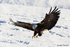 coming in for a landing (londa.farrell) Tags: novascotia canada eagle baldeagle birdofprey bird snow animal wildlife nature january 2018 winter outdoor cold sheffieldmills k
