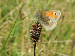 Perched (Kevin Pendragon) Tags: smallheath insect butterfly summer outdoors grass grassland green orange brown grey