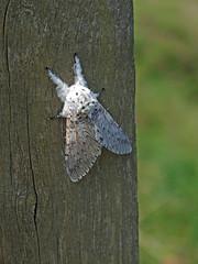 Puss Moth on wooden post (Philip_Goddard) Tags: nature naturalhistory animals invertebrates insecta insects lepidoptera moths notodontidae cerura dicranura ceruravinula dicranuravinula pussmoth europe unitedkingdom britain british britishisles greatbritain uk england southwestengland