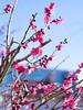 Red Japanese Apricot blossoms (gemapozo) Tags: japaneseapricot tokyo 645z pentax kandamyoujin japan shrine 千代田区 東京都 日本 jp hdpentaxdfa645macro90mmf28edawsr 神田明神 紅梅