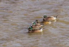 American Wigeons_MG_0037 (918monty) Tags: ducks waterbirds waterfowl wildlife wigeons americanwigeonduck richardsontexas breckinridgeparkrichardsontexas ponds lakes water wetlands dabblingducks ducksinarow birdsofafeatherflocktogether