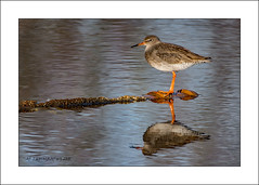 Redshank on a pipe (prendergasttony) Tags: rspb bird nikon avian outdoors nature flight pov dof wings birdwatching outdoor wild nesting england elements feathers soar wingspan feet white beak motion action water sunlight tonyprendergast january 2018 sea ocean reflection animal sky redshank tringa totanus mud mudflats wood d7200 waterfowl
