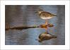 Redshank on a pipe (prendergasttony) Tags: rspb bird nikon avian outdoors nature flight pov dof wings birdwatching outdoor wild nesting england elements feathers soar wingspan feet white beak motion action water sunlight tonyprendergast january 2018 sea ocean reflection animal sky redshank tringa totanus mud mudflats wood d7200 waterfowl