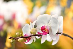 Orchid Spray (mclcbooks) Tags: flower flowers floral macro closeup orchid orchids denverbotanicgardens colorado