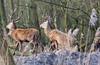 IMG_1416 (jancphotography.be) Tags: wildlife 400mm canon photography redder deer birds bird oostvaardersplassen reddeer edelhert holland