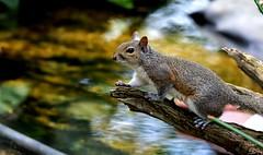 Crossing the pond DSC_2306 (blthornburgh) Tags: tampa thornburgh florida sunshinestate squirrel greysquirrel animal nature backyard