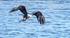 Eagle Shoot - Le Claire, IA - 2018 Feb - bks-2072 (Brian Sprague Photography) Tags: bird cold largebird leclaire mississippiriver transportation water winter eagles baldeagle