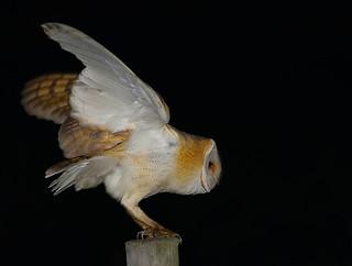 Coruja-das-torres / Lechuza común / Barn Owl