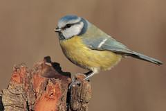 Cinciarella (Marcello Giardinazzo) Tags: cinciarella birds bird natura avifauna uccelli italia wild