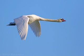 Mute Swan in flight 97442