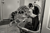 7/52 Laundry Day (Jasper's Human) Tags: 52weeksfordogs dog aussie australianshepherd laundry help domestichelp