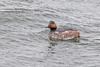 Black Necked Grebe (drbut) Tags: blackneckedgrebe podicepsnigricollis grebes water lakes waterfowl stainesreservoir nature wildlife canonef500f4lisusm