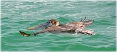 Fort De Soto Gulf Pier - St Petersburg, Florida (lagergrenjan) Tags: fort de soto gulf pier st petersburg florida fishing birds pelican
