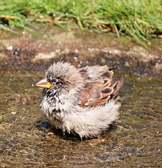 Spatzen-Bad (Compy54) Tags: spatz sparrow bad sperling haussperling