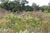 Alvar Sumac (peterkelly) Tags: digital peleeisland stoneroadalvar ontario canada northamerica canon 6d ontarionature naturereserve alvar shrub bush sumac staghornsumac
