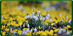 Snowdrops - harbingers of spring! (Ioan BACIVAROV Photography) Tags: spring primavara printemps natura nature green flower flowers fleur fleurs floare flori season anotimp bokeh snowdrops bacivarov ioanbacivarov bacivarovphotostream interesting beautiful wonderful wonderfulphoto nikon