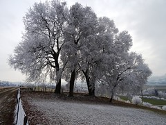 Bäume mit Raureif bei Wichtrach (Martinus VI) Tags: raureif hoarfrost hoar rime frimas winter hivers y170102 aaretal canton de kanton bern berne berna berner bernese schweiz suisse suiza switzerland svizzera swiss martinus6 martinus6xy martinusvi martinus