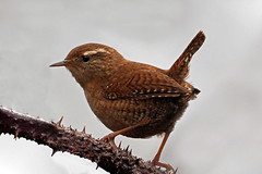 wren (Explore) (DODO 1959) Tags: wildlife wales nature animal avian wren birds fauna perch songbird carmarthenshire wwt llanelli outdoor 1dmk4 100400mmmk2 canon troglodytes