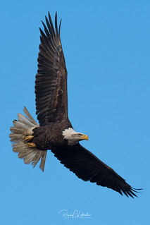 Bald Eagles of the Jersey Shore | 2018 - 17