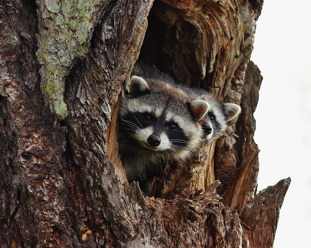 raccoon hunting essay They learn all the angles of coon hunting and make a great team no wily coon can outsmart little ann, and old dan is strong and sure more than that, the dogs seem bonded to each other, and to billy, in mysterious ways.