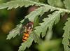 Episyrphus balteatus (9) (saracenovero) Tags: episyrphusbalteatus syrphidae diptera flies fliesoflithuania 2017