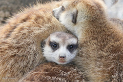 234A7762.jpg (Mark Dumont) Tags: animals cincinnati dumont mammal mark meerkat zoo