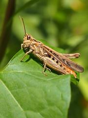 Chorthippus Brunneus (Visual Stripes) Tags: grasshopper leaf 35mmmacro 35mm primelens prime olympus olympusepm1 mzuiko handheld macro insect invertebrate
