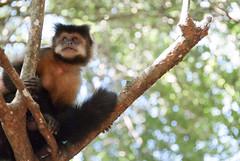A monkey (Mariene Valesan) Tags: iguazu iguazufalls iguazunationalpark argentina monkey travelphotography travelphoto travel animal nature naturelovers naturephotography natureshot bokeh