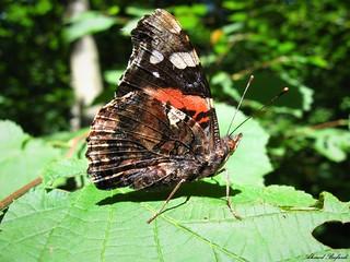 Butterfly 1618