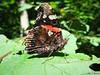 Butterfly 1618 (+1100000 views!) Tags: butterfly borboleta farfalla mariposa papillon schmetterling فراشة