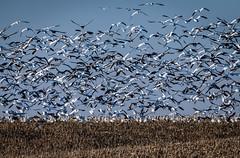Snow Geese, Sutton, Nebraska (031546) Tags: snow geese nebraska migration