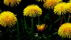 """Z albumu """"Mlecze"""" nr.17 (andrzejskałuba) Tags: polska poland pieszyce dolnyśląsk silesia sudety europe panasoniclumixfz200 roślina plant kwiat flower mlecz dandelion zieleń green field pole yellow żółty natura nature"""