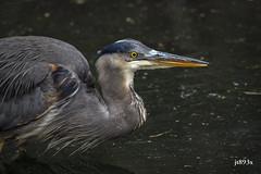 Great Blue Heron (jt893x) Tags: 150600mm ardeaherodias bird d500 greatblueheron heron jt893x nikon nikond500 sigma sigma150600mmf563dgoshsms coth alittlebeauty thesunshinegroup coth5