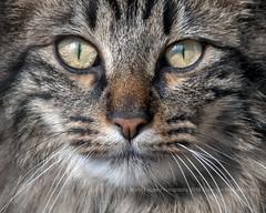 My little furry friend (dog ma) Tags: main coon feline kitty kittycat dogma nikon d300s nikkor 300mm shotat500mmwithteleconverter jodytrappephotography close up macro whiskers newjersey