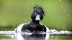 Tufted Duck (mond.raymond1904) Tags: dodder river dublin egret kingfisher tufted duck ireland