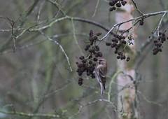 Lesser redpoll on alder (1 of 3) (KingfisherDreams) Tags: lesserredpoll wildlife nature leicestershire uk oiseau bird fringillidae alder finch redpoll